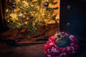 Pets and the Holidays - A Yorkie Sleeps Under the Christmas Tree