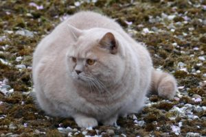 Help Your Pet Lose Weight. Fat cat sitting in a yard looking to the right