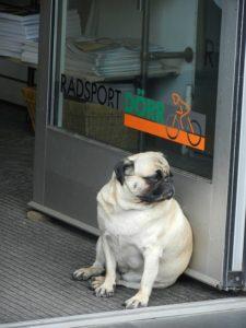 Fat Pug dog sitting in an open doorway.