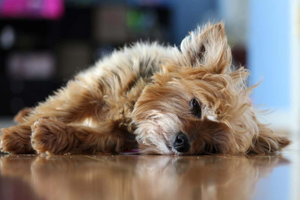 small bored dog laying on floor