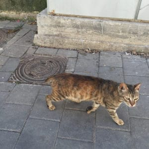 Cat with a short tail on a city street