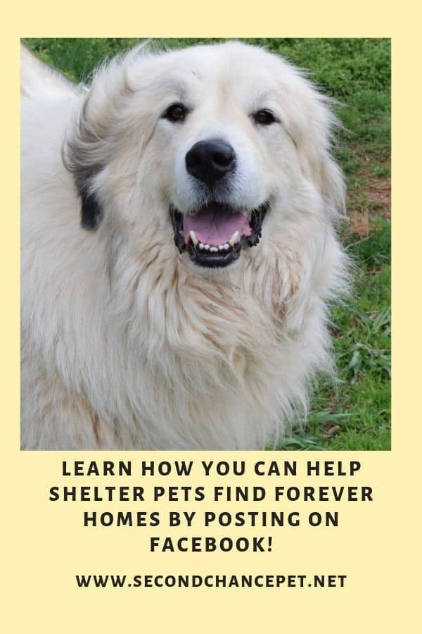 Great Pyrenees on grass