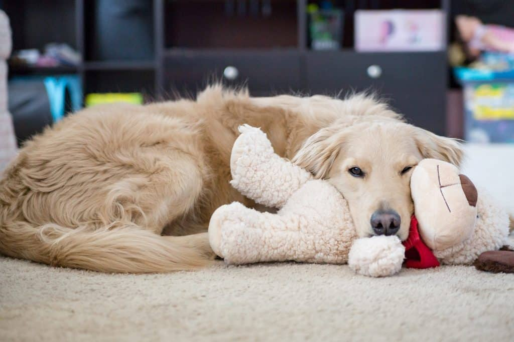 Bored dog laying on floor with toy