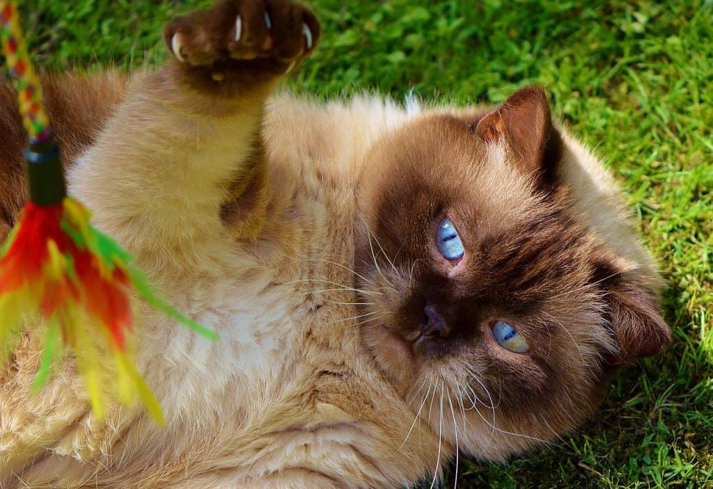 Siamese cat playing with a handmade feather toy