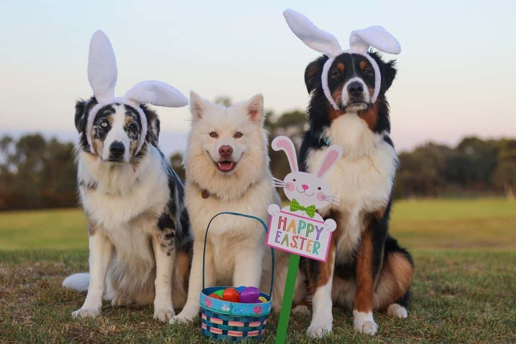 Three large dogs with bunny ears and Easter baskets.