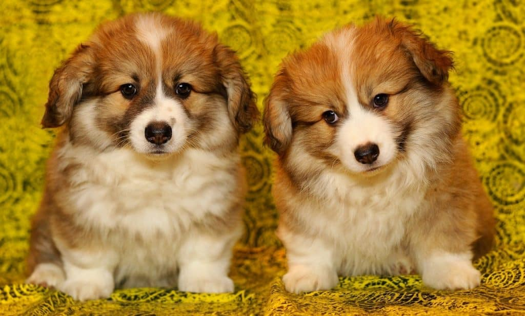 Two cute brown and white puppies sitting next to each other