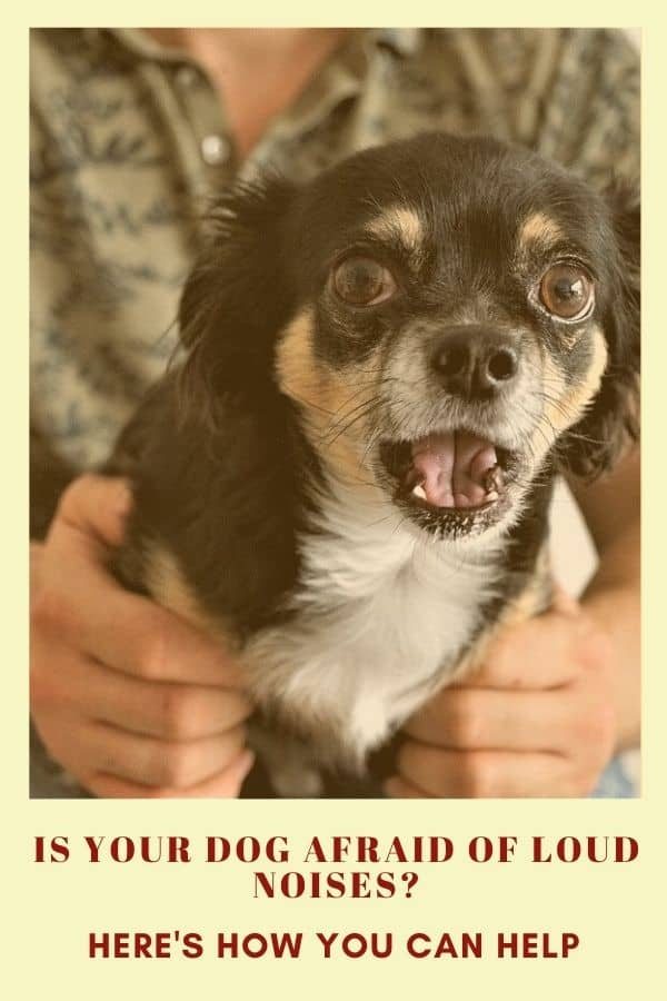 scared long-haired chihuahua