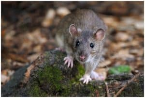 Rodents can be infected too