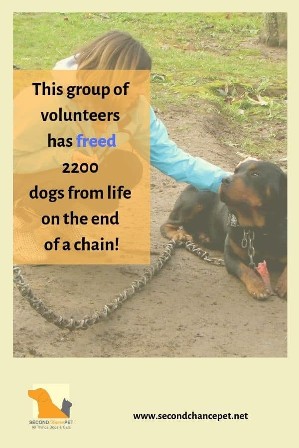 Rottweiler on a Chain Being Pet by a Woman