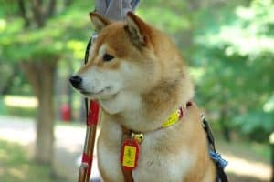 The Hokkaido, one of the more unusual Japanese dog breeds