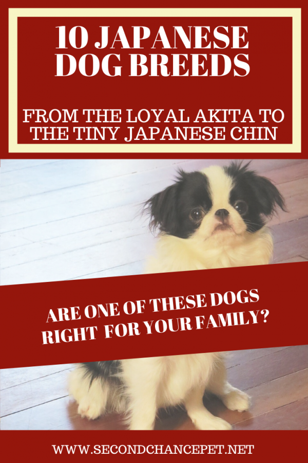 The Japanese Chin is one of the dog breeds originating in Japan