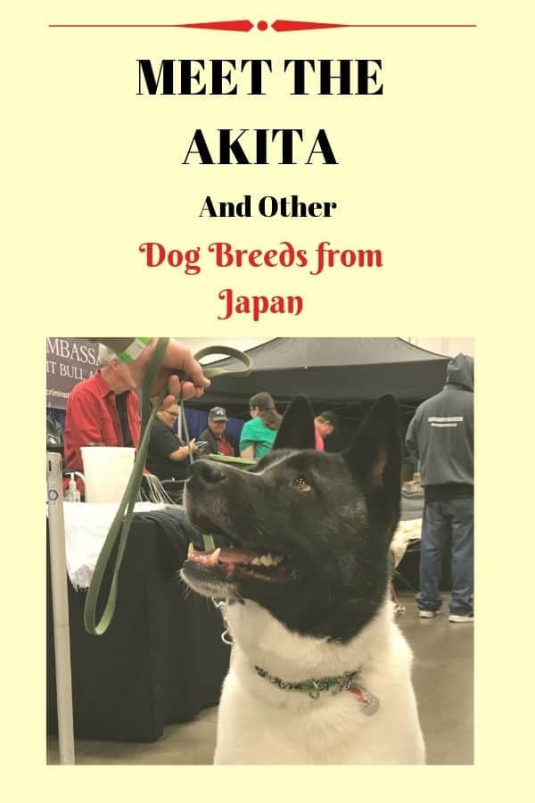 The Akita is one of the most well-known of the Japanese dog breeds