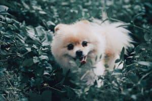 small Pomeranian in grass