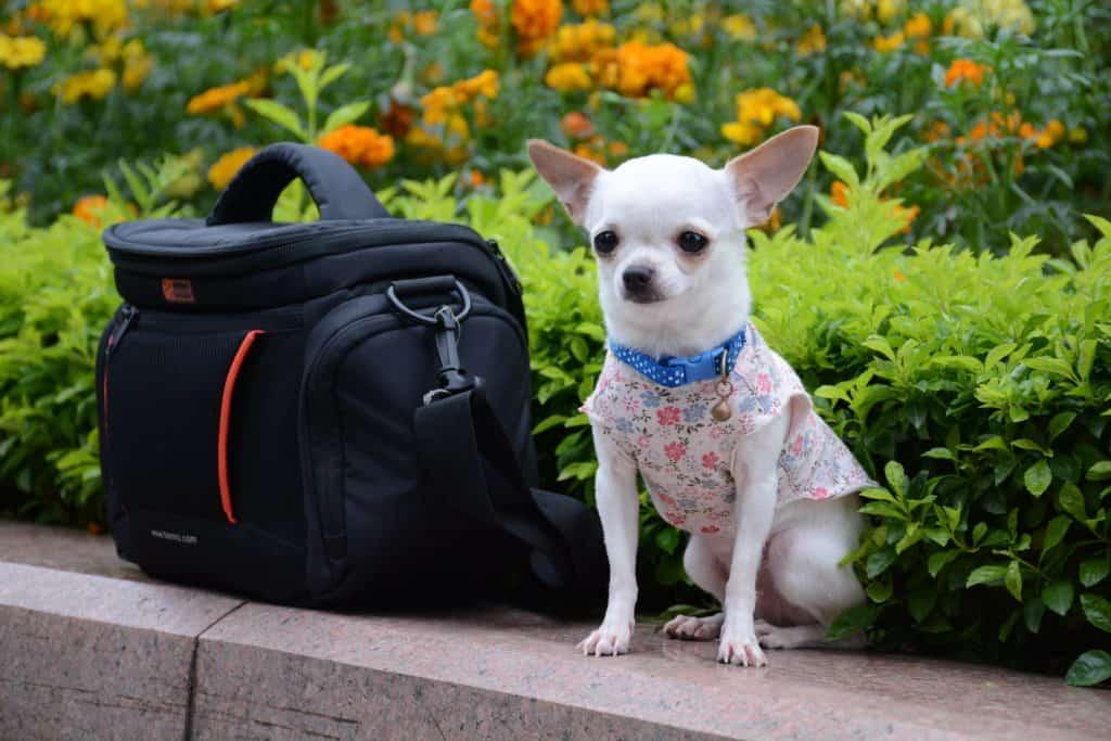 Chihuahua sitting outside by camera bag