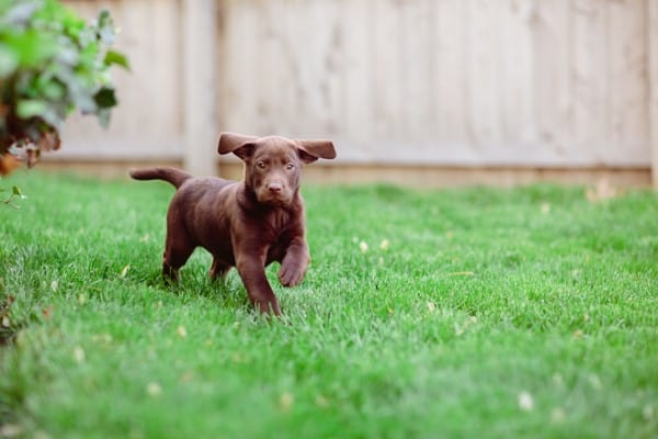 Brown puppy running on green grass