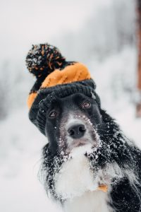 Black and White Dog in the Snow Wearing a Hat