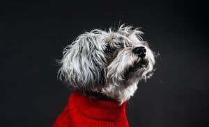 Dog Posed in a Red Sweater