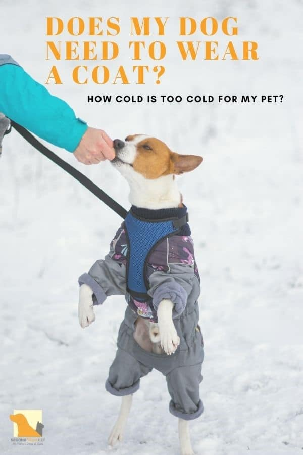Does My Dog Need a Coat? Jack Russell Terrier wearing a coat and on hind legs taking a treat