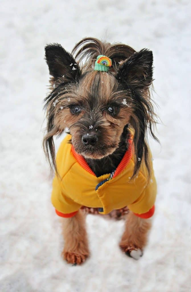 Yorkshire Terrier in a yellow coat