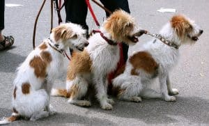 Another job working with dogs is a dog walker. Here three dogs are going on a walk together