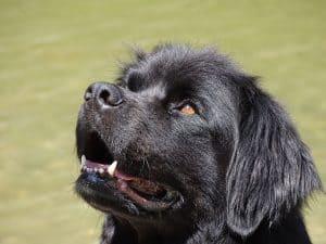 Canadian Dog Breed - Adult Newfoundland on green grass