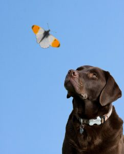 Labrador Retriever looking at a butterfly