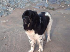 Landseer dog standing on concrete