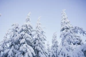 snow covered pine trees under blue skies
