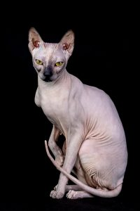 A Hairless cat such as this one can alleviate allergies to pets