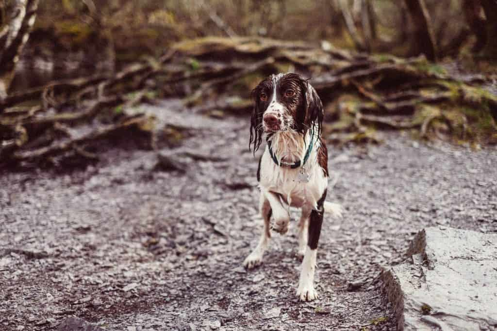 A lost pet wet and muddy