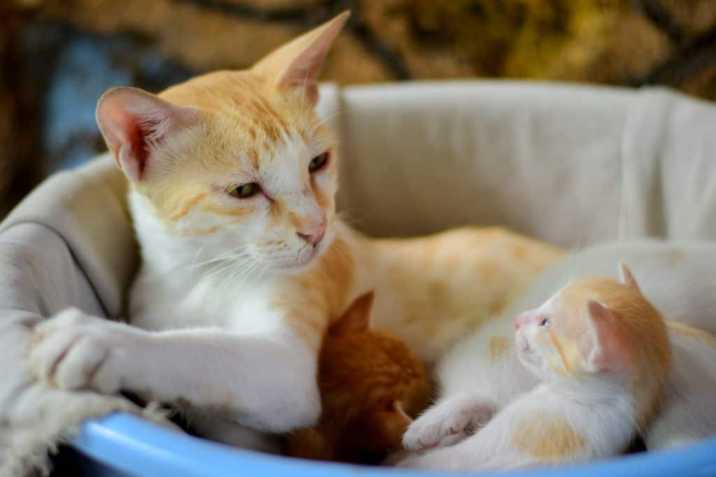 Spaying and neutering prevent more kittens from being born, like this tri-color one with his Mom