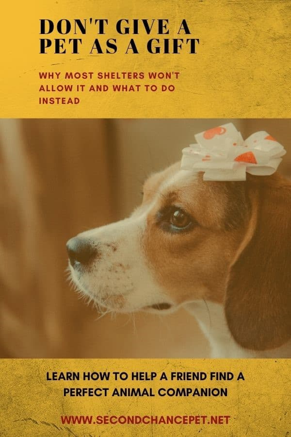 Beagle with bow on his head - why not to give a pet as a gift